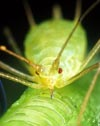 Aphids host Buchnera aphidicola. Copyright Science.