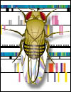 Drosophila melanogaster and map.