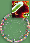 Haemophilus influenzae and circular genome map.